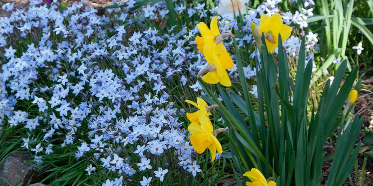 Star flowers and daffodils