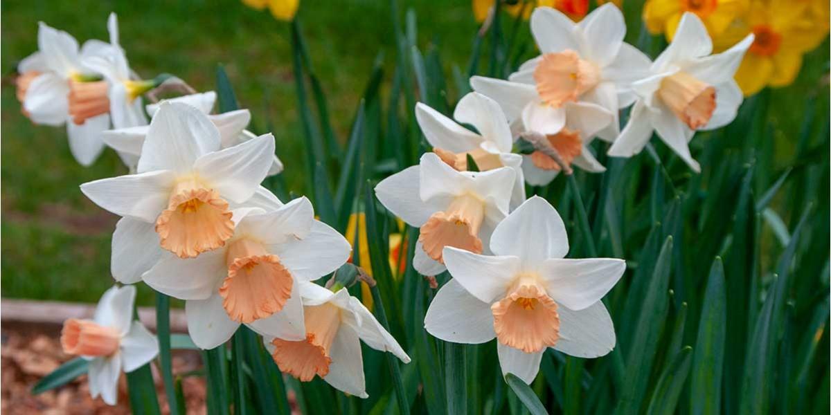 Melany daffodil