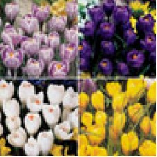 CROCUS COLLECTION