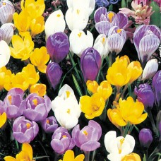 MIXED DUTCH CROCUS