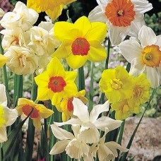 COTTAGE MIXED DAFFS