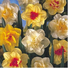 DOUBLE MIXED DAFFS
