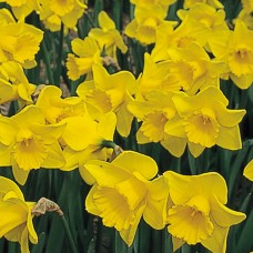 GOLDEN YELLOW MIXED DAFFODILS