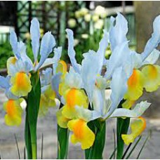DUTCH IRIS 'APOLLO'