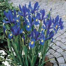 DUTCH IRIS 'BLUE MAGIC'