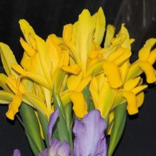 DUTCH IRIS 'TEXAS GOLD'