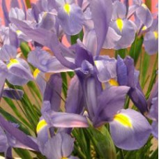 DUTCH IRIS 'HILDEGARDE'