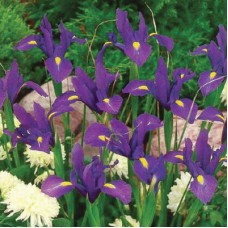 DUTCH IRIS 'ACAPULCO'