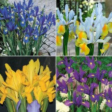 ELEGANT DUTCH IRIS  COLLECTION - 18 BULBS