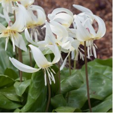 TROUT LILY 'WHTE BEAUTY'