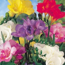 FREESIA DOUBLE 'FANCY FRILLS'