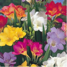 FREESIA IMPERIAL GIANT MIX