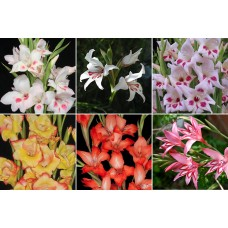 GLADIOLUS Collection 18