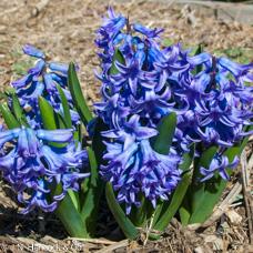 HYACINTH 'Delft Blue'