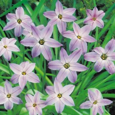 IPHEION 'WISLEY BLUE'