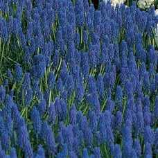 MUSCARI ARMENIACUM - BLUE
