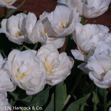 TULIP 'WHITE HEART'
