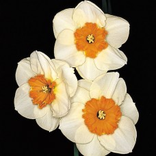 DAFFS 3 WHITE-ORANGE / RED