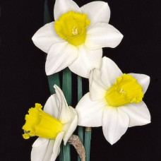 DAFFS 4 WHITE-YELLOW