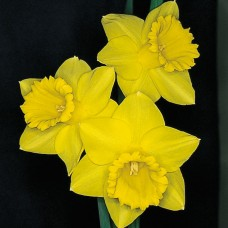 DAFFS 1 YELLOW TRUMPETS