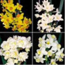 FRAGRANT JONQUILS - 40 BULBS COLLECTION